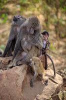 Baboons in Lake Manyara National Park in Tanzania