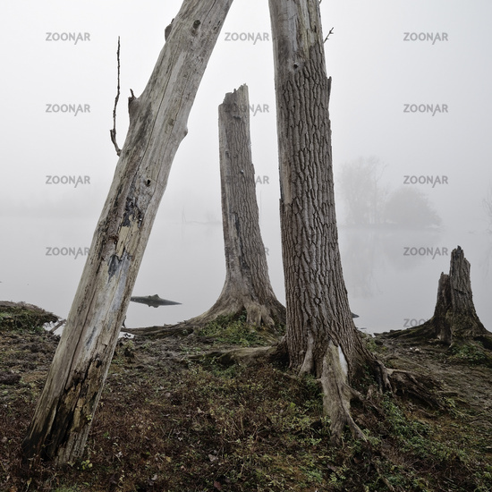Tree stumps on the water in the November fog, Bislicher Insel nature reserve, Xanten, Germany Europe