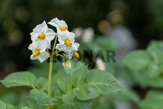 Blühende Kartoffel eines Gemüsebauern - Erntezeit in der Landwirtschaft