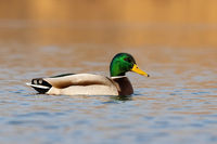 Colorful mallard swimming on lake in spring nature.
