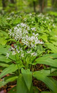 Bärlauch  'Allium ursinum'