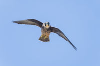Eleonoras Falcon flying and hunting, Falco eleonorae
