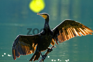 Cormorant drying wings,backlight