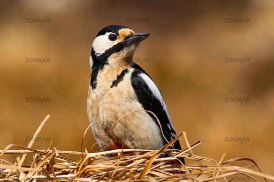 great spotted woodpecker sitting on dry grass with yellow blurred background