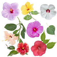 Digital Painting of Hibiscus flowers isolated on white background
