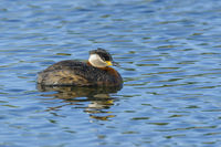 Red-necked Grebe, Podiceps grisegena