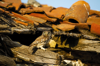 Cute little owl sitting on a roof beams of old homestead