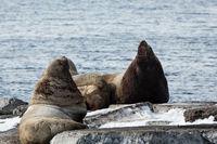 Rookery Steller Sea Lion or Northern Sea Lion. Kamchatka, Avacha Bay