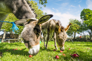 Two donkeys eating red apples in an idyllic garden