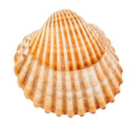 yellow brown seashell of cockle isolated on white