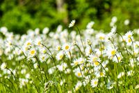 Forest meadow full of daisies