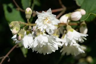 English dogwood, Philadelphus coronarius