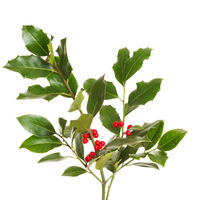Christmas holly plant - green leaf, red berry and twig. Stechpalme in german language.