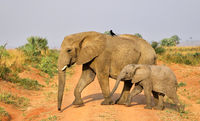 Elephants, Murchison Falls National Park Uganda (Loxodonta africana)