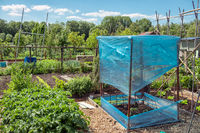 Dutch allotment garden with bean stakes and covered tomatos