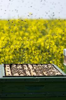 Bienenkasten mit Bienenvolk im Rapsfeld