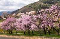 Almond blossom in Gimmeldingen, German Wine Route,  Rhineland-Palatinate, Germany