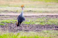 Gorgeous Crowned Crane