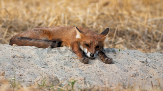 Sleepy red fox lying with paws stretched forwards on summer morning in nature.