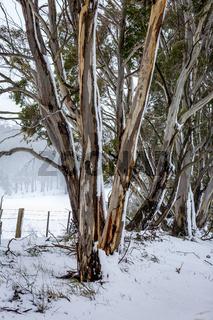 Australian gum trees in the winter snow