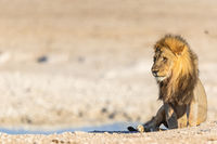 Lion (Panthera leo) in Namibia