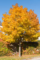 glowing maple tree with discolored leaves - deciduous Norway maple