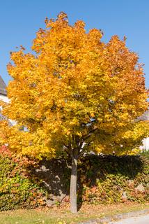 leuchtender Ahornbaum mit verfärbten Blättern - Laubbaum Spitzahorn