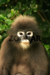 Portrait of Spectacled langur, Ang Thong National Marine Park, Thailand