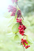 Ripe fruits of red schizandra with green leaves hang in sunny rays in garden. Red schisandra growing
