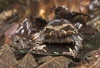 Gehörnter Kinabalu Frosch (Megophrys baluensis)