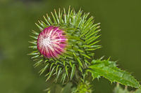 Cotton thistle 'Onopordum  acanthium'
