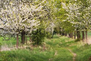 Feldweg mit Kirschbäumen in Blüte