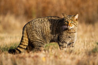 Adult european wildcat hunting on the meadow in sunlight during autumn
