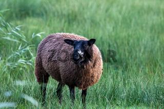 Schaf in den Niederlanden