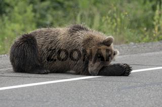 Wild brown bear lies and sleeping on side of asphalt road