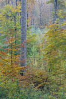 Rotbuchenwald im Herbst / Common Beech forest in fall / Itzehoe  -  Schleswig-Holstein