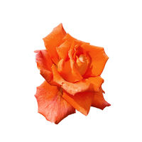 Rose orange one