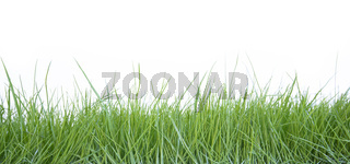 Fresh grass on white background