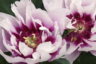 Close-up image of Tree peony flowers