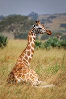 sitting Ugandan giraffe, Murchison Falls National Park Uganda
