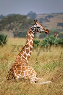 Sitzende Rothschild-Giraffe im Murchison Falls Nationalpark Uganda (Giraffa camelopardalis rothschildi) | sitting Ugandan giraffe, Murchison Falls National Park Uganda (Giraffa camelopardalis rothschildi)