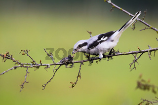 Fierce great grey shrike sitting on a twig with mouse impaled on thorn in summer