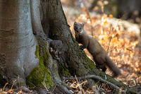 Pine marten climbing on tree in sunny autumn nature