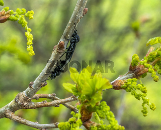 mating Hawthorn Flies