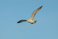 Herring  Gull 'Larus argentatus'