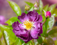Wet purple rambler rose blossom