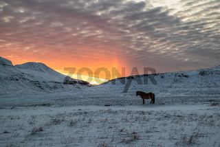 Horse in the mountains at sunset, Iceland
