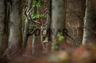 Curious red deer stag looking from behind a tree in forest