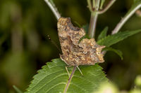 Nymphalis c-album, Comma butterfly from Germany