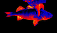Fish perch close-up in scientific high-tech thermal imager
